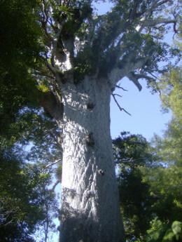 Neuseeland, Teil 2: Wer kennt einen Kauri Baum?