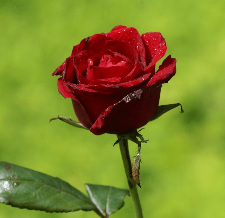 Geköpfte Rosen welken schnell