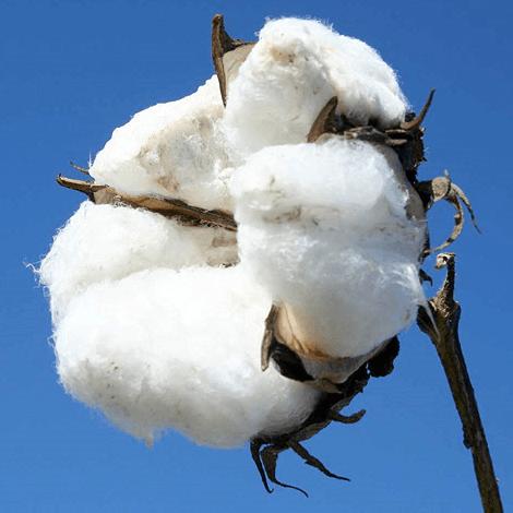 Die Geschichte der Baumwolle