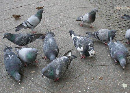 Tauben Plage