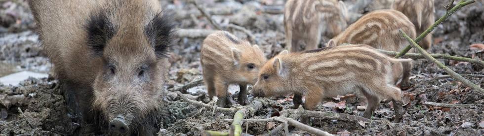 Die Schweinepest, Sorgen der Bauern