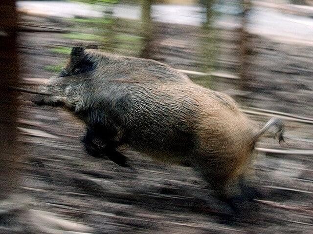 Ein verirrtes Wilschwein